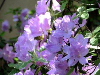 Tender azalea blossoms