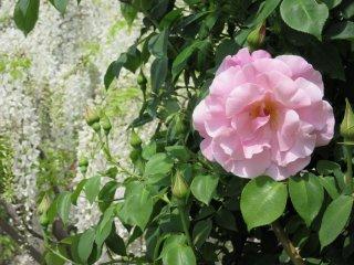 In Ashikaga Flower Park