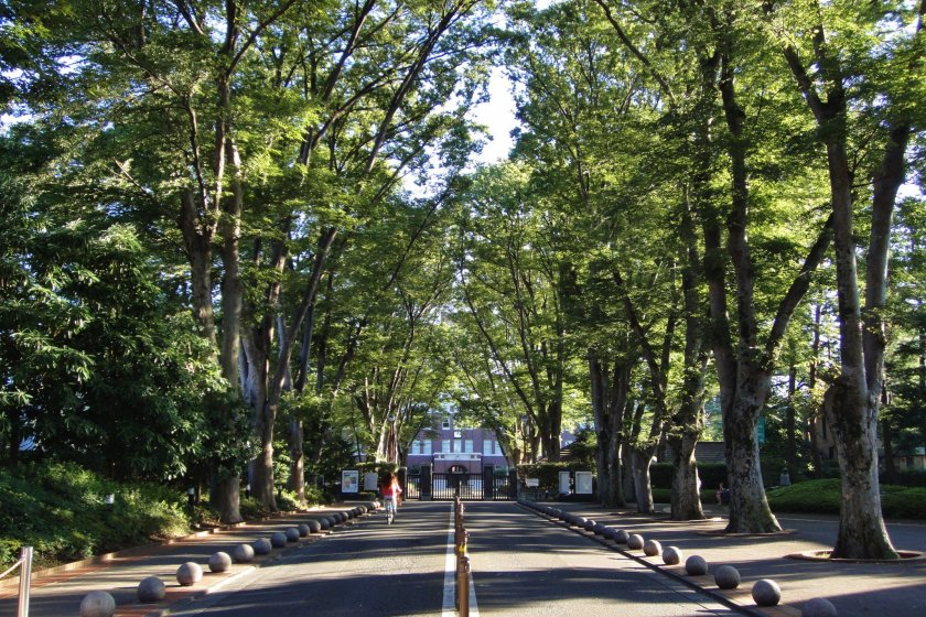 Zelkova-lined road at Seikei Gakuen