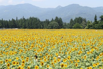 Tsunan Sunflower Festival