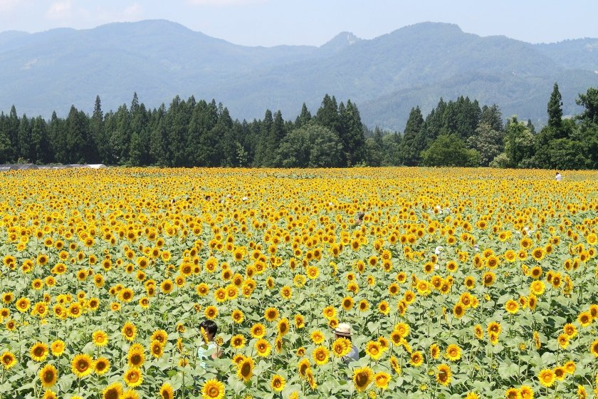 Sunflower fields with a beautiful mountainous backdrop