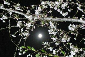 Wonderful view of the moon and sakura