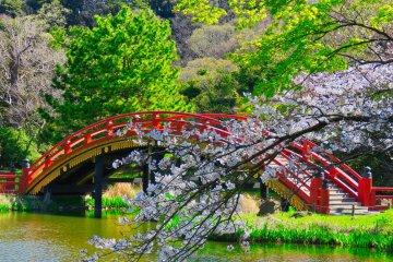 Arch Bridge during cherry blossom season