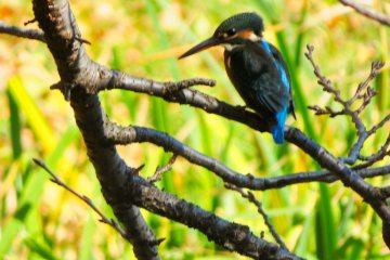 Kingfisher at Ajigaike Pond
