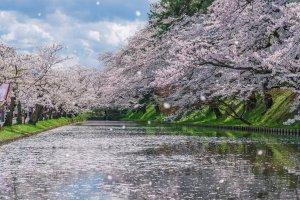 2020 Cherry Blossom Forecast