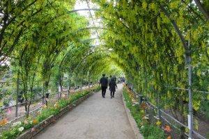 Арочные аллеи глицинии в парке Асикага