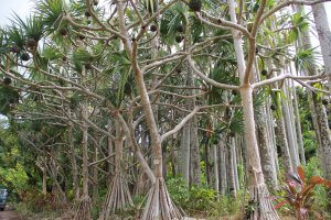 The screw pines are beautifully pruned and hardly recognizable as the dense and unsightly overgrown form it is seen as everywhere else on Okinawa