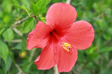 <p>There are hibiscus flowers throughout the park</p>