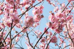 세타가야 매화꽃 축제