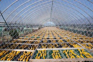 Sweet potato drying in the field at Nousanbutsu Kakou Konya
