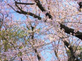 The cherry blossoms in Seiseki-Sakuragaoka