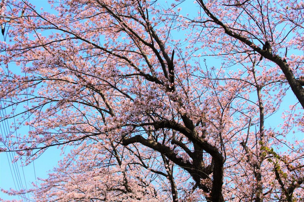 The cherry blossoms in full bloom