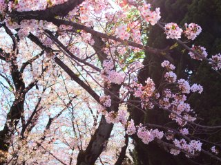 The beautiful cherry blossoms