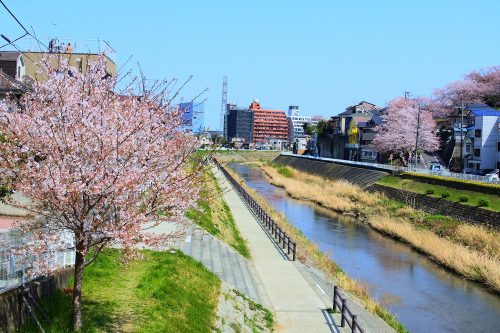 The cherry blossoms along the Tama River
