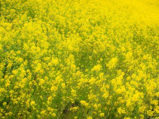 Bright yellow rapeseed, one of the harbingers of spring in Japan.