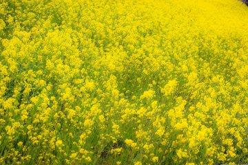 เรพซีดสีเหลืองสดใสจัดว่าเป็นหนึ่งในพืชผลแห่งฤดูใบไม้ผลิในญี่ปุ่น