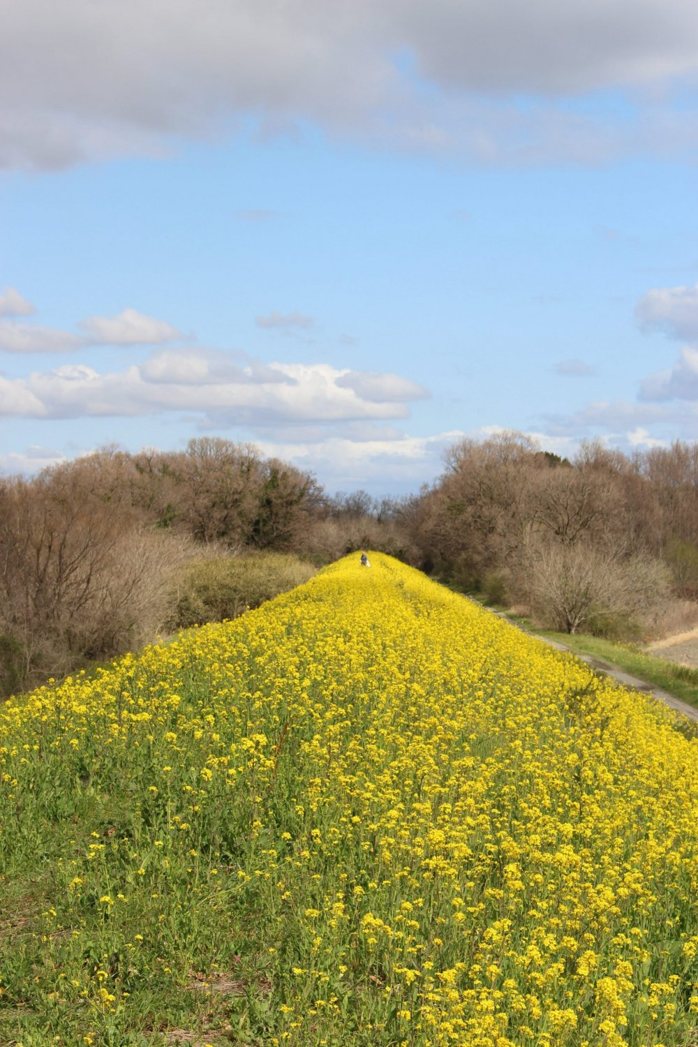 An embankment of rapeseed off the main path