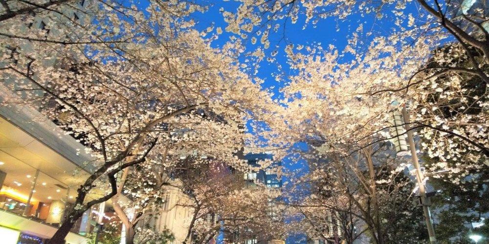 The illuminated cherry blossoms