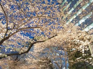 The nighttime cherry blossoms
