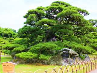 The famous Tsurukame Pine