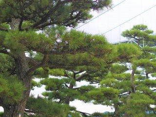 The big pine trees and the bridge