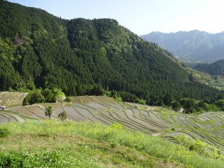 The hill that hosts the rice paddies is surrounded by forest and mountains.
