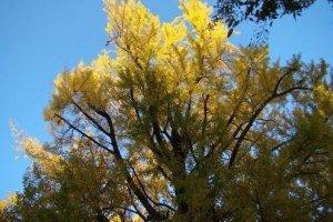 寺院里的黄叶