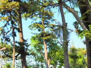 風情ある松並木