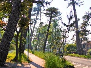 東海道の松並木の景色