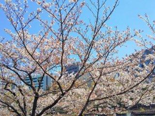 市ヶ谷に咲く桜