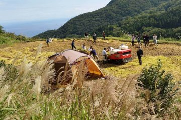 Rice harvest on Sado Island