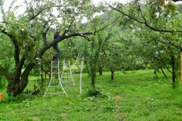 Osawa san hunts for the perfect plums for us.