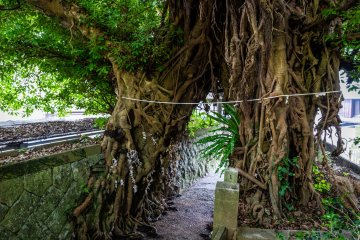 The largest Japanese sea fig tree in Japan lives at Narao Shrine