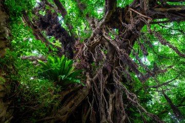 Various species of plants live on the 670-year-old giant with hanging roots