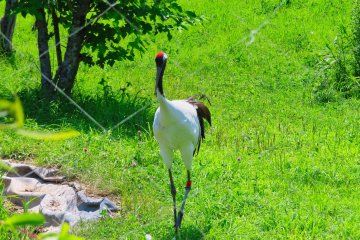 Male Red Crowned Crane, Akan International Crane Center