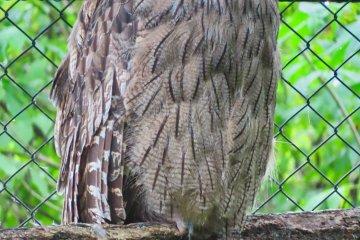 Blakiston's Fish Owl found throughout Eastern Hokkaido; Has a wing span of 180 cm (70.87 inches)