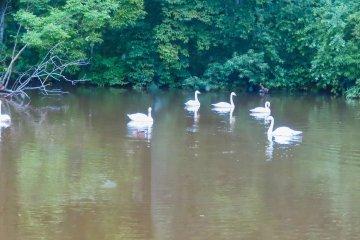 Seven-Swans-a-Swimming at Kushiro Zoo!