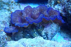 The giant clam is taking center stage