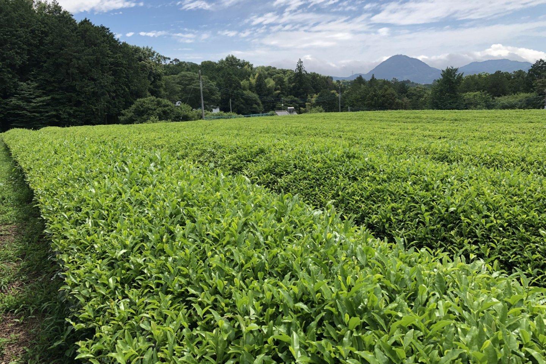 The green tea fields of Shizuoka