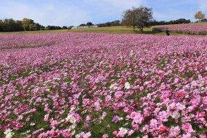Fields of cosmos at Hyogo's Awaji Hanasajiki Botanical Garden