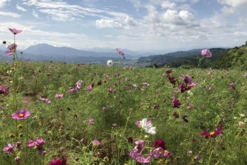 The mountains surrounding the Iwappara Cosmos Park add to the beauty