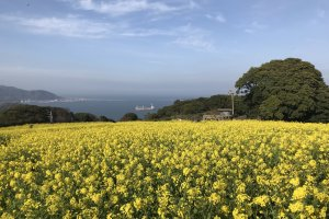 Fields of canola at the Nokonoshima Island Park