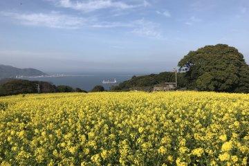 Fields of canola at the Nokonoshima Island Park