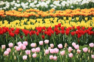 Rows of tulip varieties at Flower Park Kagoshima