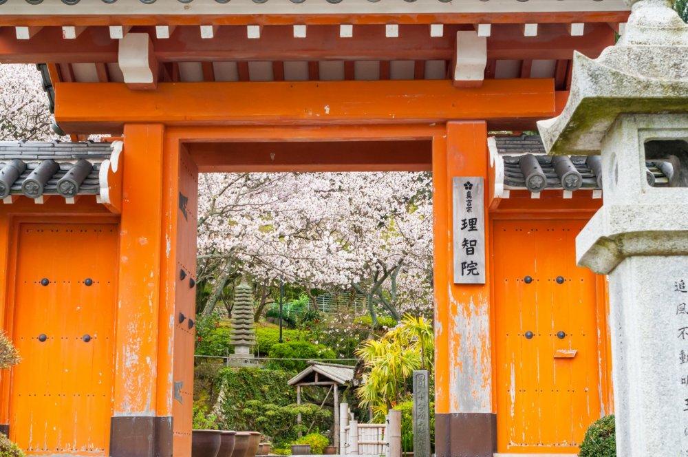桜が満開の季節の理知院。赤の山門と可憐な桜の花の相性が良い