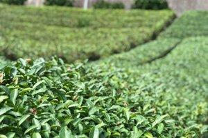 The tea farm