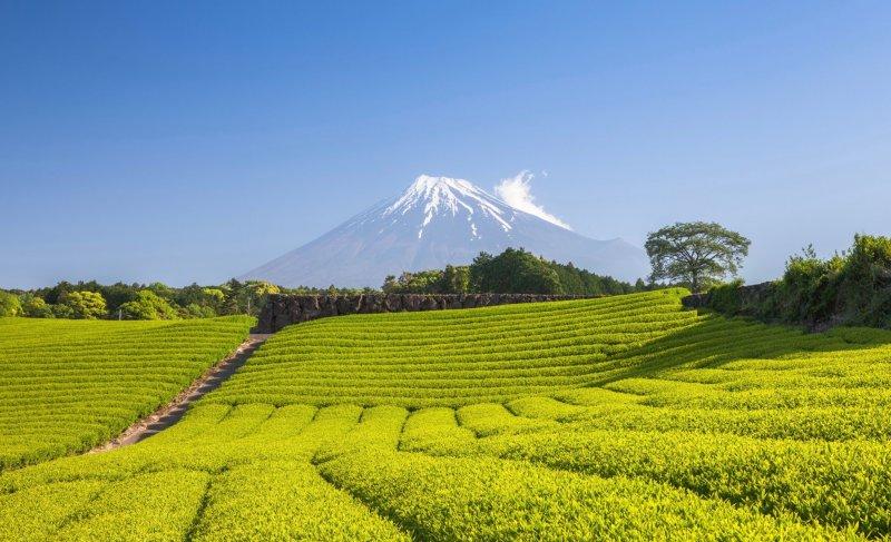 Rolling tea fields overlooking Mount Fuji