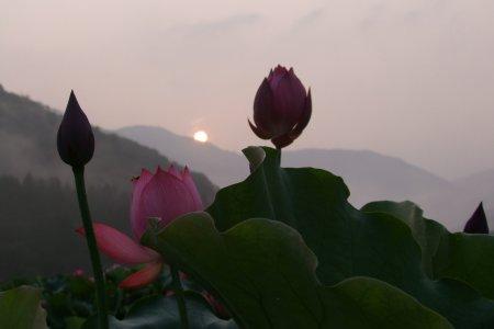 Thiên đường hoa sen tại Fukui