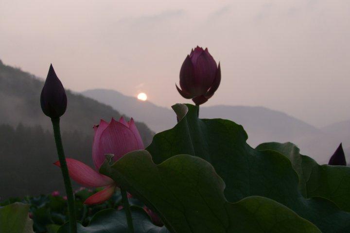 蓮の花・極楽の情景 福井