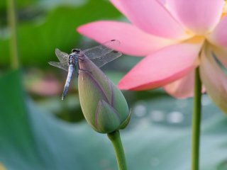 A dragonfly enjoying the morning dew